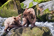 Two young bear cubs