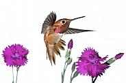 Rufous Hummingbird (wild male)