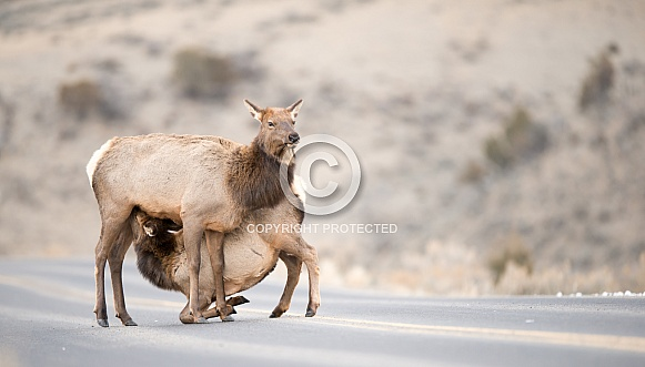 Wild Elk Cow and Calf
