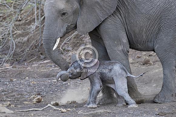 Elephant Mother and Newborn Calf