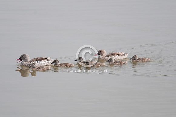 Cape Teal family