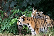 Young Amur Tigers