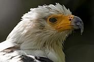 African Fish Eagle Close Up Head Shot