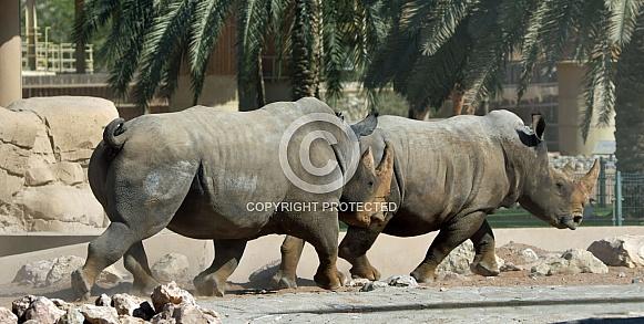 Indian White Rhinos Running at Al Ain Zoo. UAE.