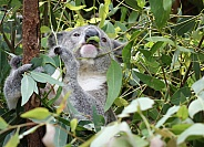 Koala Eating Gum Leaves