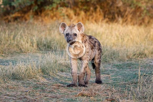 Spotted Hyena Cub (wild)