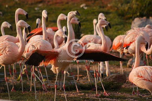 Chilean Flamingos Group