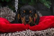 Dachshund Puppy Close Up Looking At Camera