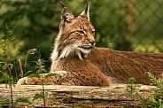 Northern Eurasian Lynx Lying Down