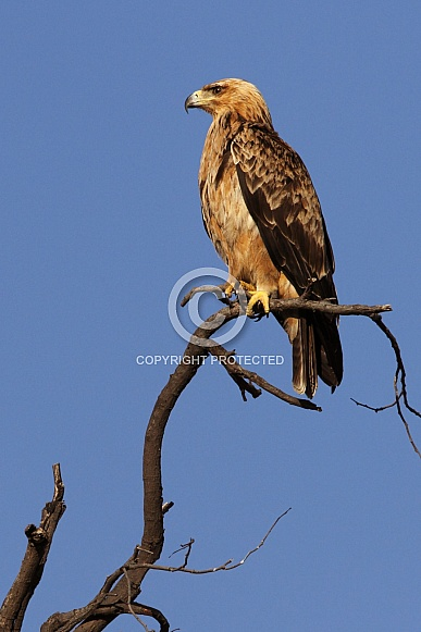 Tawny Eagle - Okavango Delta - Botswana