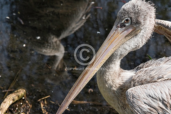 Eastern White Pelican Close Up