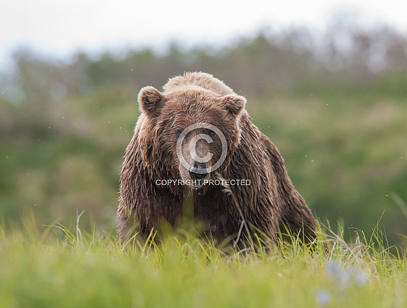 Wild Alaskan Brown Bear