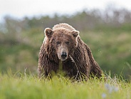 Wild Alaskan Brown Bear