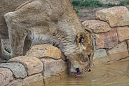 Lion at watering hole