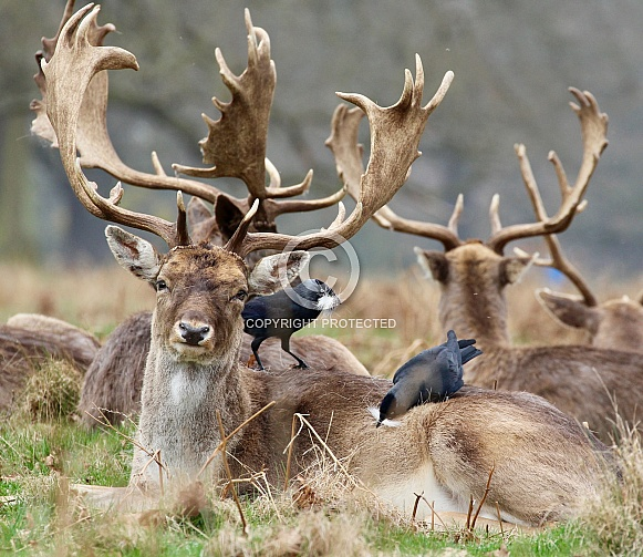 Fallow Deer Stag with nesting Jackdaws