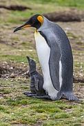King Penguin - Falkland Islands