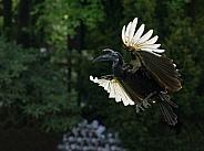 Flying Hornbill