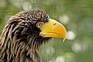 Steller-Sea Eagle