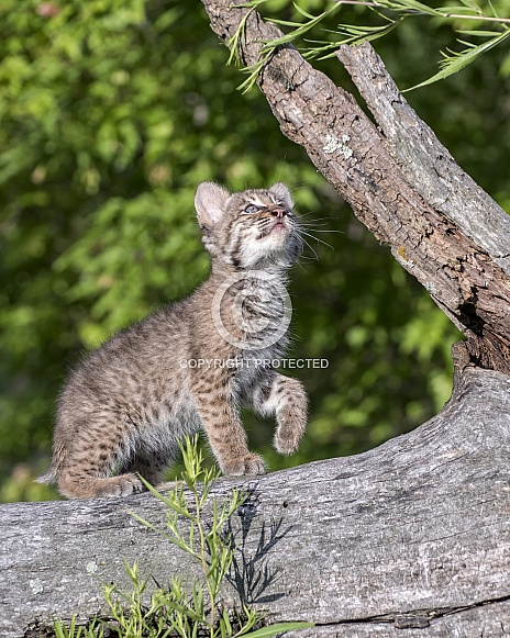 Bobcat Kitten at Play