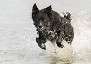 Curly-Coated Border Collie Running Through Water