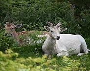 Fallow deer and white fallow deer resting