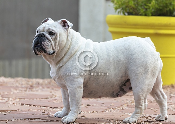 Adult white bulldog standing in profile