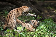 playing lynx cubs