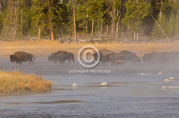 Bison Herd crossing the Firehole
