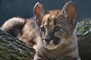 Cougar Cub (Puma Concolor)