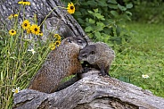Woodchuck Mother and Younsgter