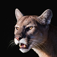 Mountain Lion Portrait
