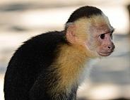 Capuchin Monkey Profile