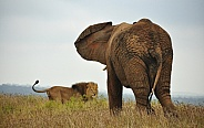 African Elephant and Lion