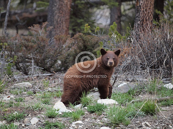 Cinnamon black bear mother and cubs