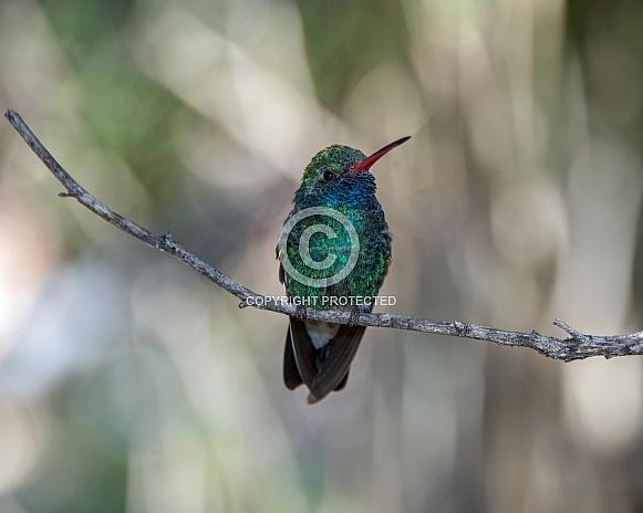 Broad-billed Hummingbird (Male)