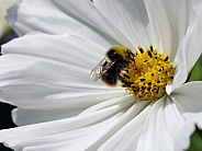 Bumble bee on Cosmo flower