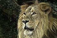 Asiatic Lion Close Up Face Shot