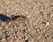 Corn Cricket