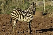 Grants Zebra Close Up