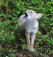 A Baby Coyote Howling