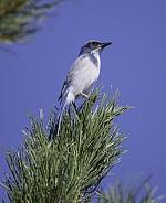 California Scrub Jay sitting on a pine branch