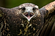 Juvenile Chilean Blue Eagle Calling Close Up