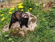 European Polecat