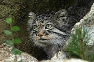 Pallas Cat, close up, side profile