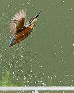 Common Kingfisher Fishing