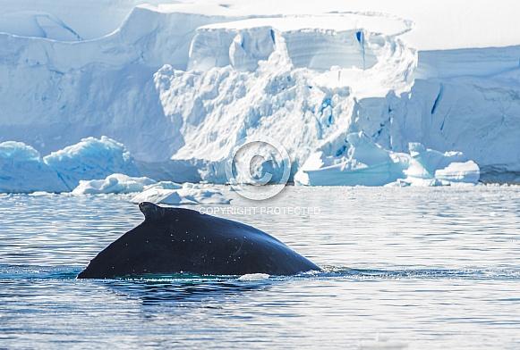 Humpback whale off Antarctica (wild)
