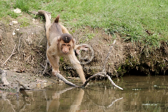 Southern pig-tailed macaque