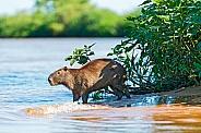 Capybara (wild, South America)