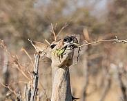 Female Kudu Eating