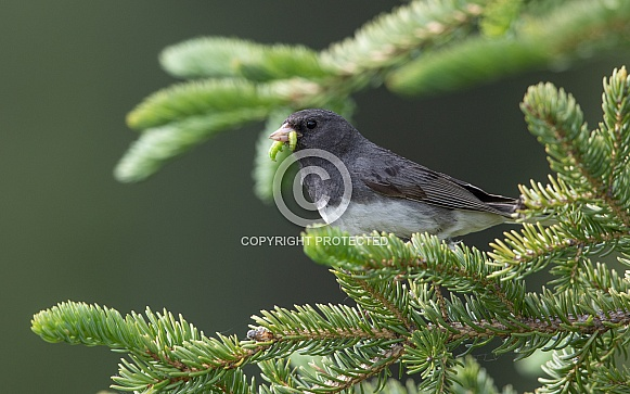 Male Dark-eyed Junco with a Worm